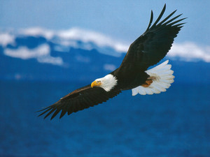 American_bald_eagle_in_flight2_2